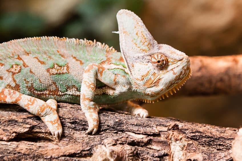 カメレオンが色を変える理由についてのトリビア