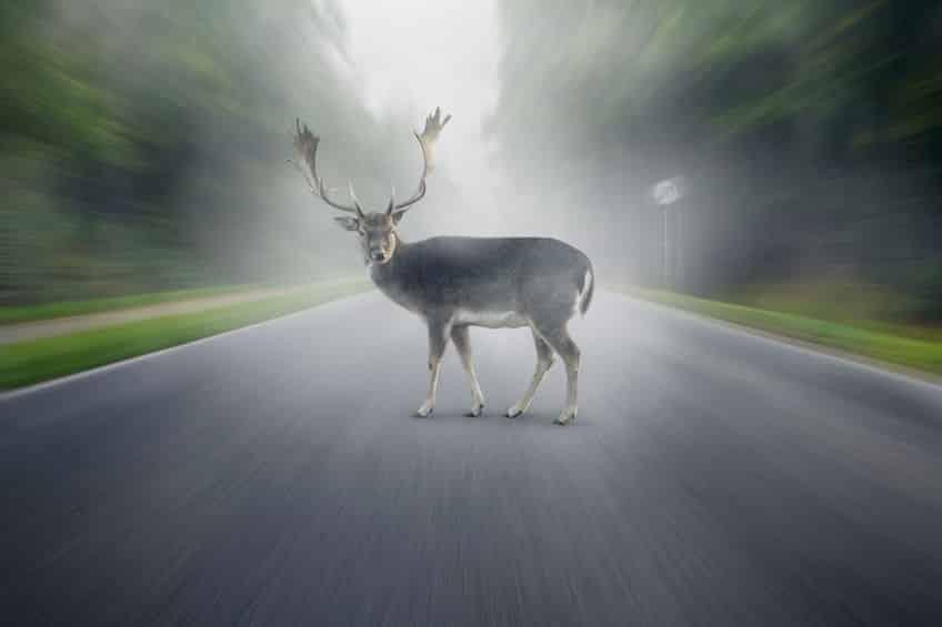 鹿と自動車の交通事故は非常に多いというトリビア