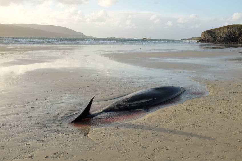 腐敗→ドカーン!クジラの死骸は爆発することがあるぞ…という雑学まとめ