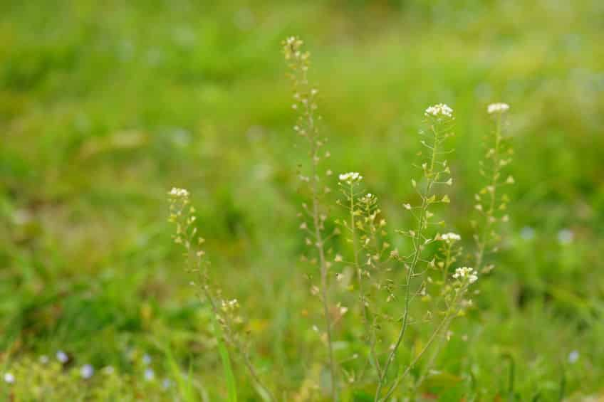 無病息災!春の七草は実は身近な植物という雑学