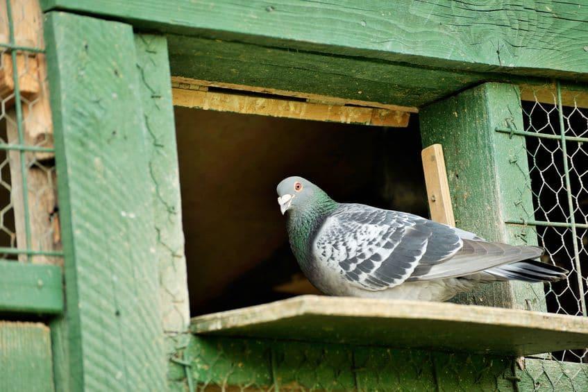 伝書鳩の恐るべきスペック。動物界随一の帰巣本能がスゴいというトリビアまとめ