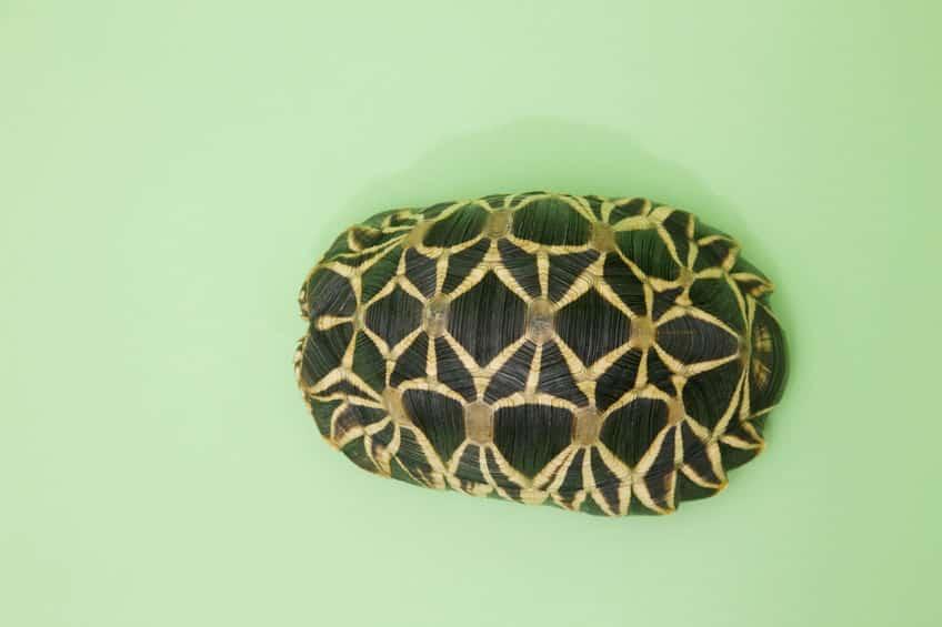 甲羅に入れる亀と入れない亀がいるというトリビア
