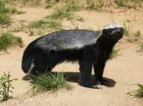 世界一怖いもの知らずの動物・ラーテルを知ってる?に関する雑学