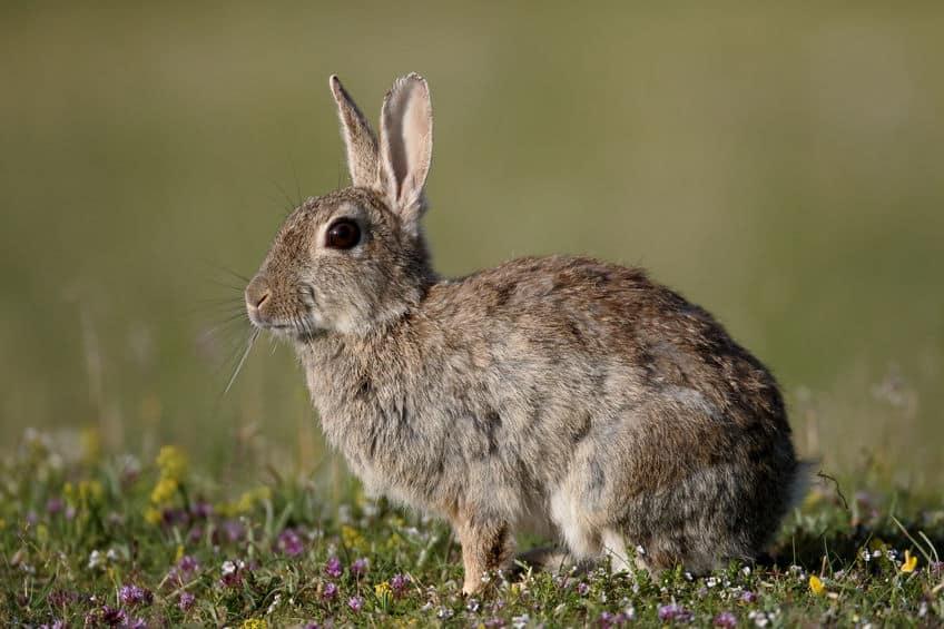 ウサギの耳の機能についてのトリビア