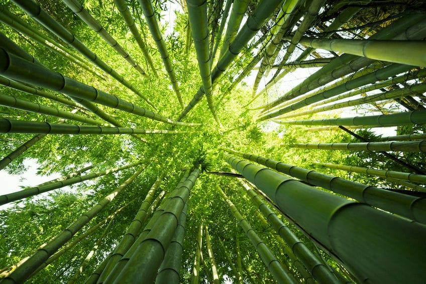 竹の成長は、とんでもなく早い!というトリビア