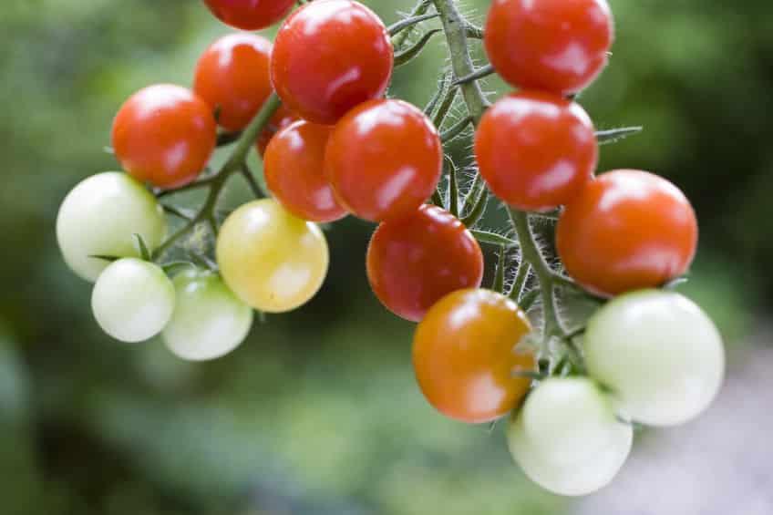 トマトが虫を食べる方法がスゴい。