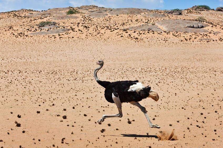 ダチョウは時速60kmで1時間以上走ることができるというトリビア