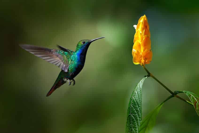 唯一後ろに飛べる鳥は「ハチドリ」に関する雑学