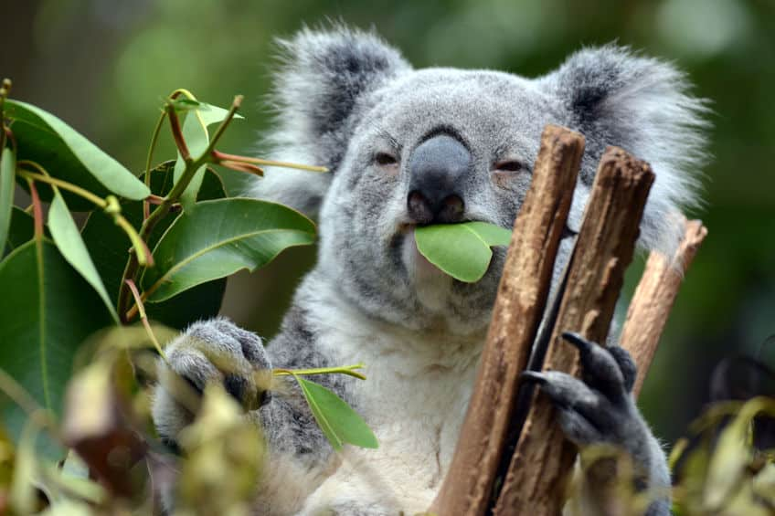 食糞ですと!?コアラの赤ちゃんが母親のうんちを食べる理由についての雑学まとめ