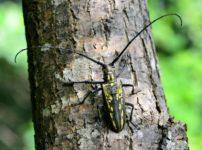 昆虫で一番おいしいのはカミキリムシの幼虫らしいという雑学