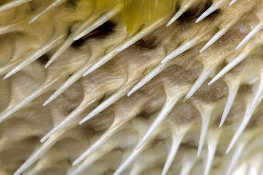 ハリセンボンの針は針ではないというトリビア