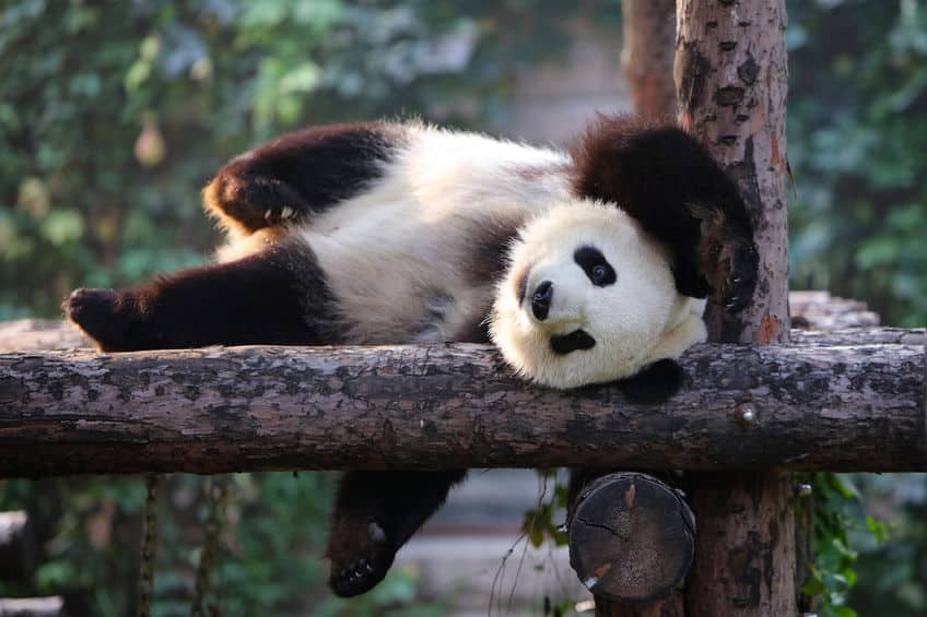 竹を固定して食べたい!パンダの指は7本あるぞという雑学まとめ