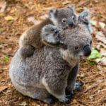 コアラの赤ちゃんはお母さんのうんちを食べて育つという雑学