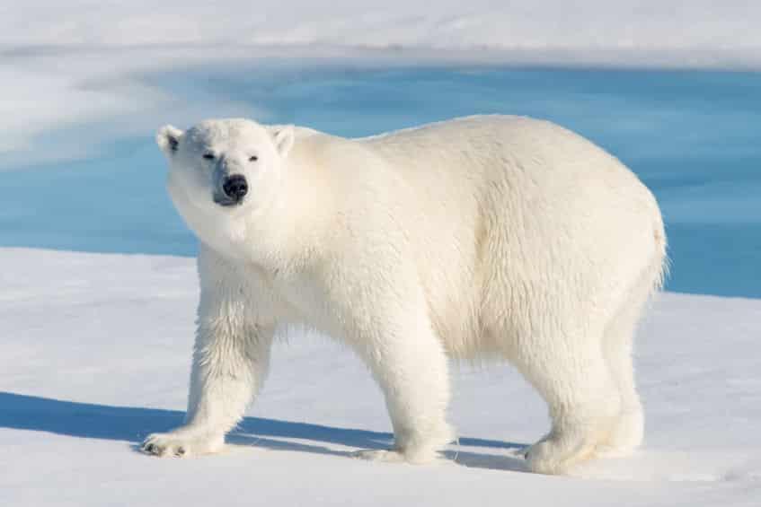 ホッキョクグマが氷の上で滑らない理由に関する雑学
