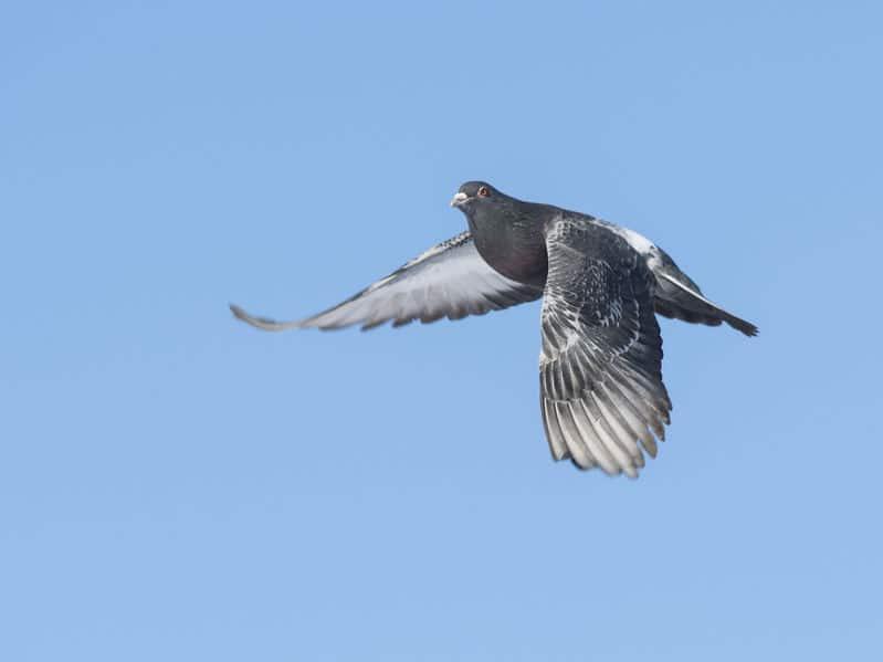 伝書鳩の帰巣本能についてのトリビア
