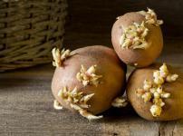 ジャガイモの芽には発ガン性物質が含まれていないという雑学