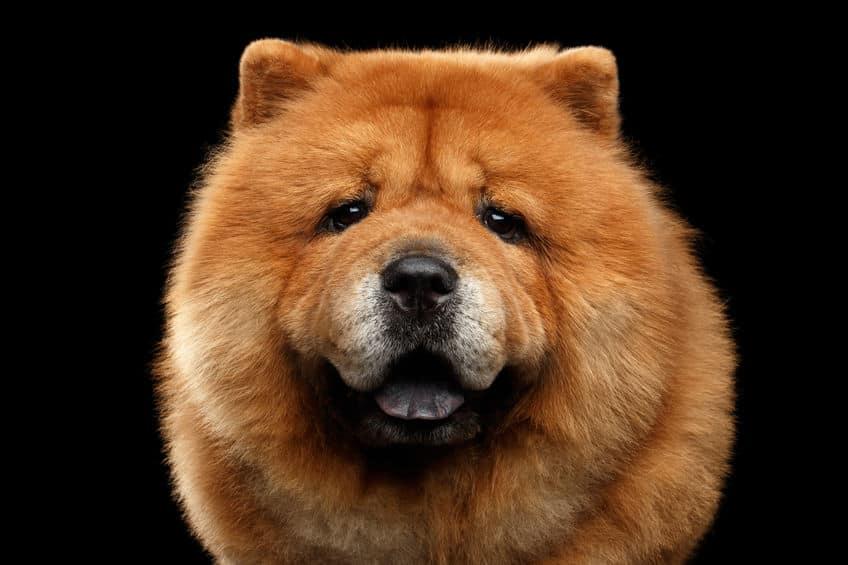 チャウチャウは食用犬として品種改良された?という雑学
