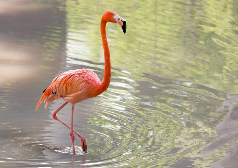 フラミンゴの膝は逆に曲がるというトリビア