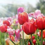 曇りの日はチューリップの花びらは閉じているという雑学
