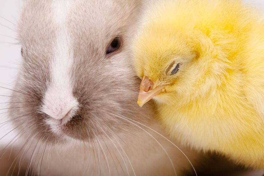 昔ウサギは鳥だと思われていたというトリビア
