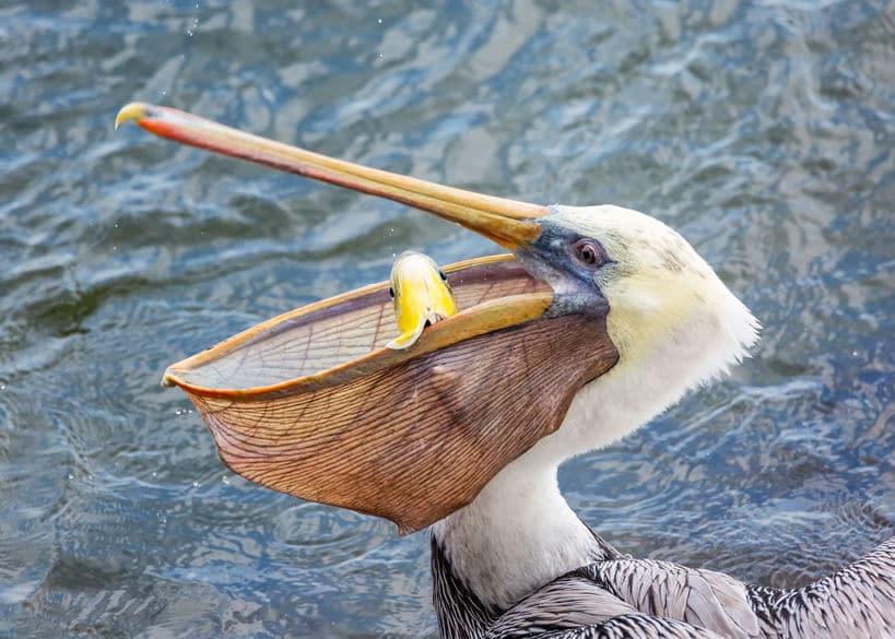 ペリカンはとにかくなんでも食べる鳥類についてのトリビア