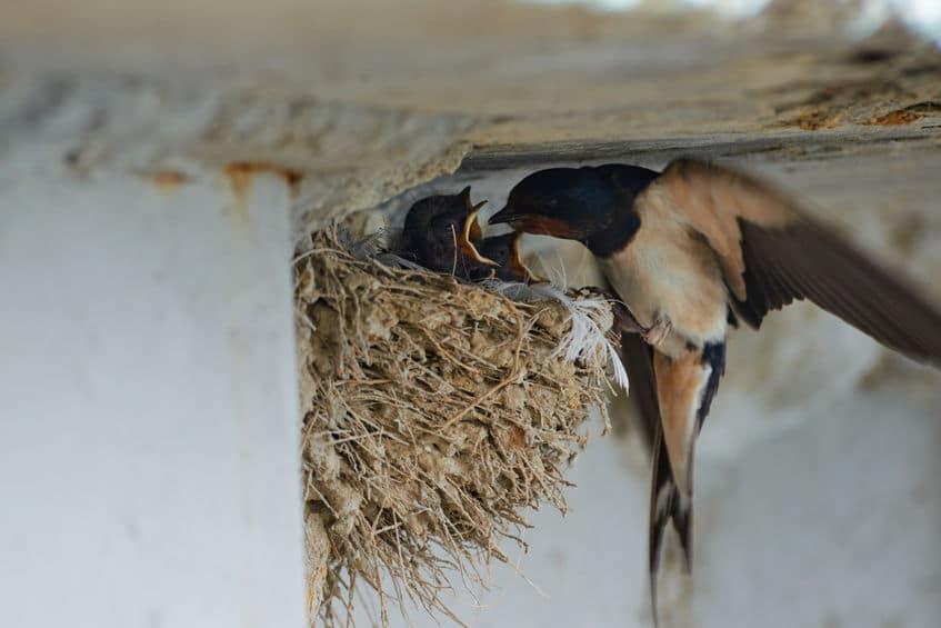 ツバメが身を守るために選んだ場所が人の家だった!というトリビア