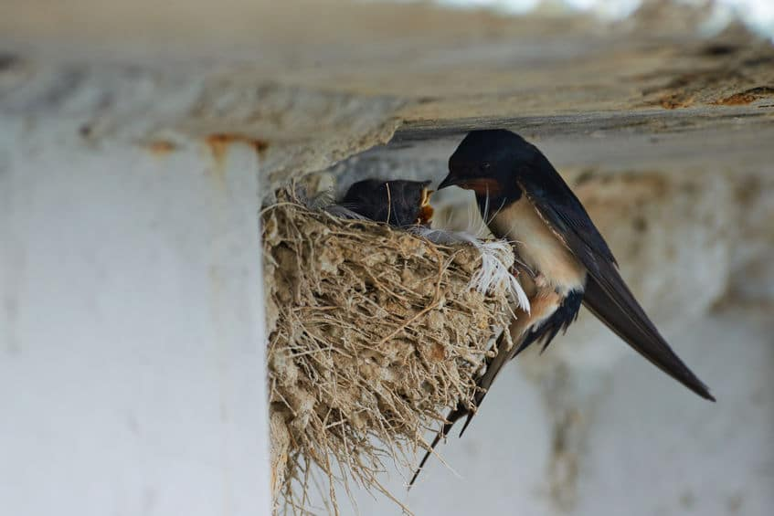 ほとんどのツバメは、自分が作った巣に毎年戻ってくるというトリビア