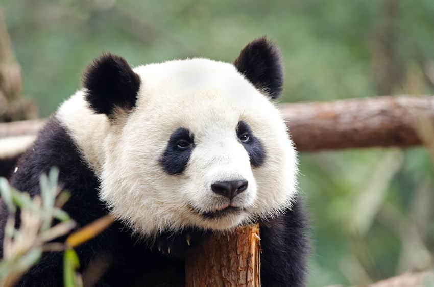 パンダのレンタルには巨額の費用がかかるというトリビア