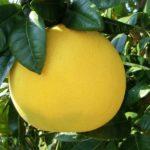 世界で一番大きな柑橘類は晩白柚という雑学