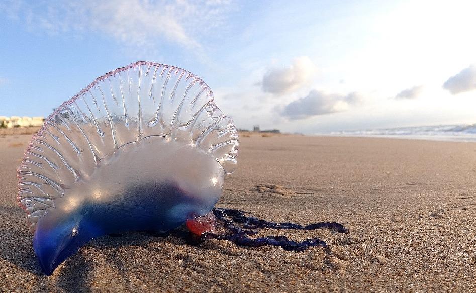 最強の毒をもつと恐れられるクラゲがいるというトリビア