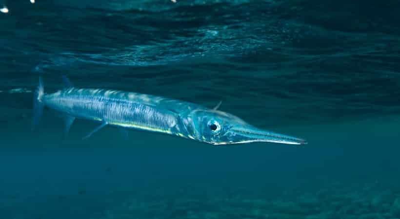 「ダツ」とは光に向かって突進してくる魚で、サメよりも恐れられているというトリビア