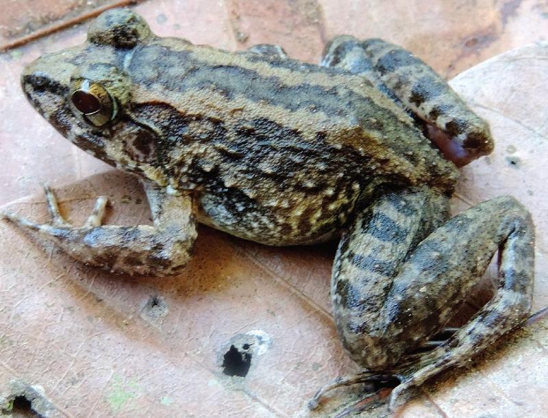 卵ではなく、おたまじゃくしを産むカエルは1種類しか確認されていないというトリビア