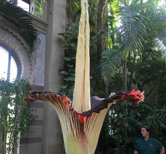 世界一大きな花であるショクダイオオコンニャク