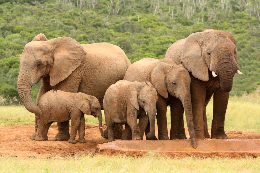 ゾウは仲間が死ぬと「埋葬」する?に関する雑学