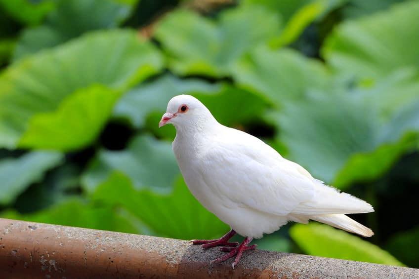 白いハトは飼いやすく技をしこみやすいというトリビア