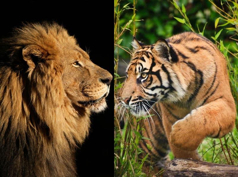 ライオンとトラはどっちが強い?という雑学