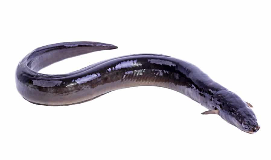ウナギのヌルヌルには体を保護する役割があるというトリビア