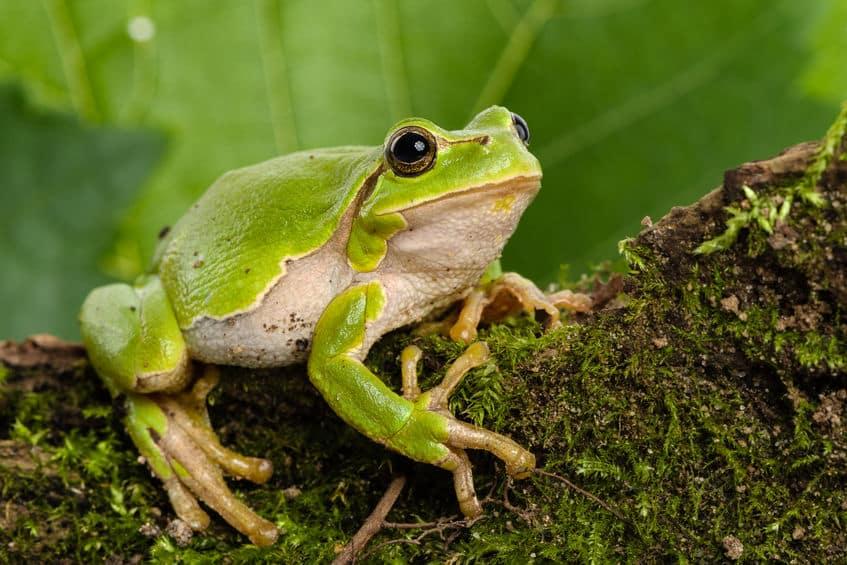 カエルは目玉を使って食事をしているという雑学