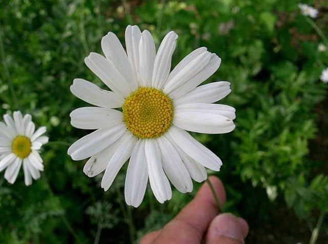 蚊取り線香はもともと花から作っていたという雑学
