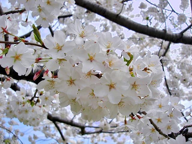 ソメイヨシノは、なぜ花が先で葉っぱがあと?に関する雑学