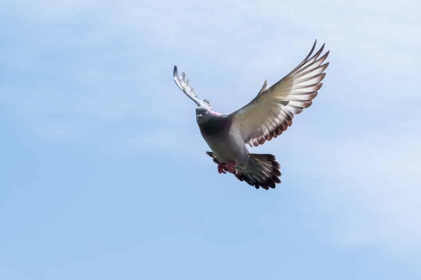 生きたハトを撃つ射撃競技「ハト撃ち」についてのトリビア