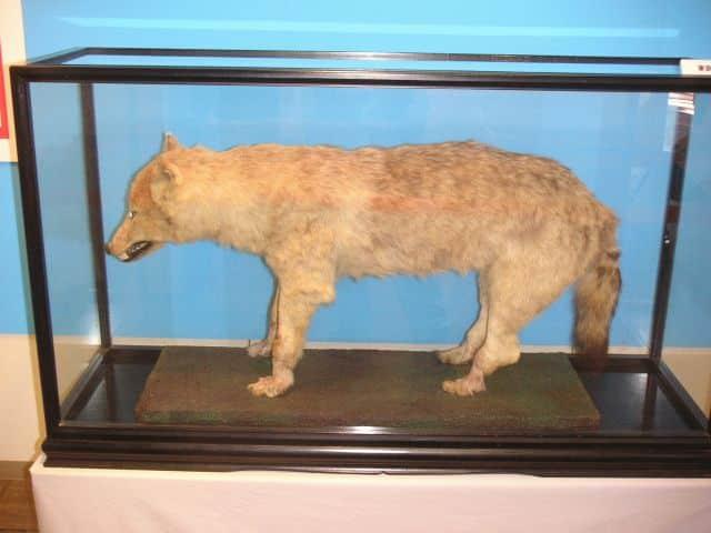 ニホンオオカミが絶滅した理由に関する雑学