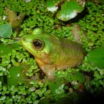 成長するにつれて小さくなるカエルがいるという雑学