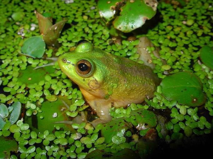 成長するにつれて小さくなるカエルがいるに関する雑学
