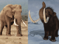 マンモスはゾウの祖先ではなく親戚という雑学