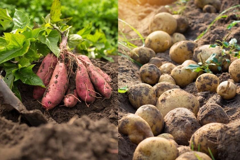 サツマイモは根っこがふくらんだもの・ジャガイモは茎がふくらんだものについてのトリビア