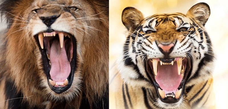 ライオンvsトラはどっちが強い?狩りの成功率が高いのは?についてのトリビアまとめ