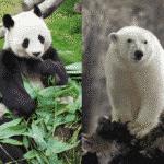 パンダとシロクマは冬眠しないという雑学
