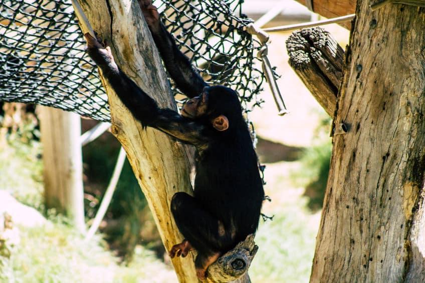 チンパンジーの握力は計測されていないが、人間よりはるかに強いというトリビア