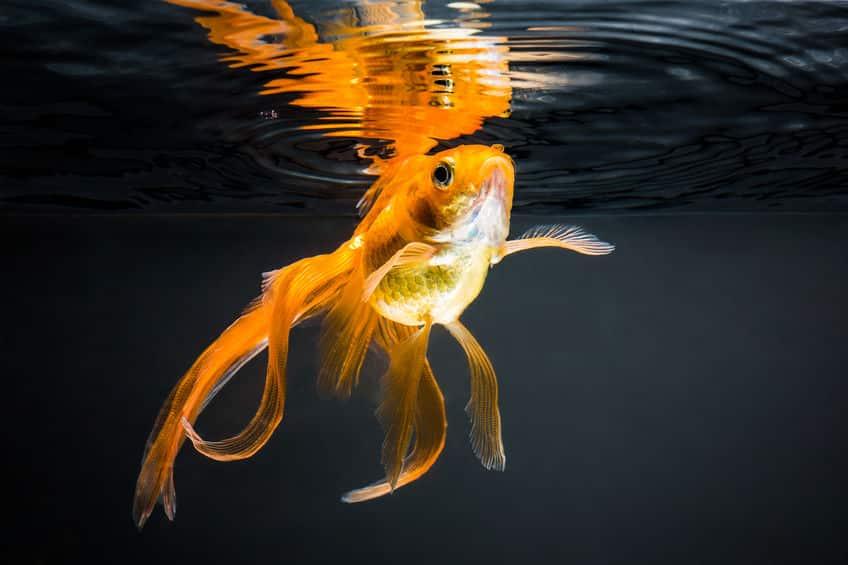金魚は野生の世界では生きていけない?というトリビア